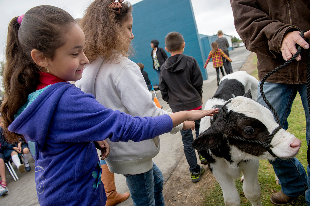 Description of . Foster Elementary second-grader Elisa Chavez pets three-day-old Holstein cow Crunch while learning all about cows and milk from the Dairy Counsel of California's Mobile Dairy Classroom instructor Laura LaFayette at the Baldwin Park campus April 15, 2013.   (SGVN/Staff photo by Leo Jarzomb)