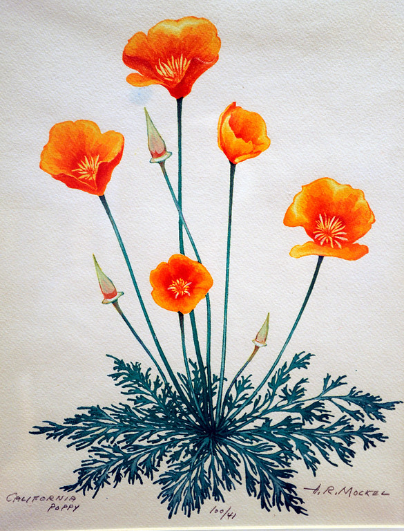 """. This Calfiornia poppy was painted by Henry Mockel in te 1960\'s. It is a watercolor on paper. \""""When they were wild,\"""" is the Huntington Library\'s new Wildflower exhibition which kicks off a month of talks, workshops and wildflower sales. San Marino, CA 3/8/2013(John McCoy/Staff Photographer)"""