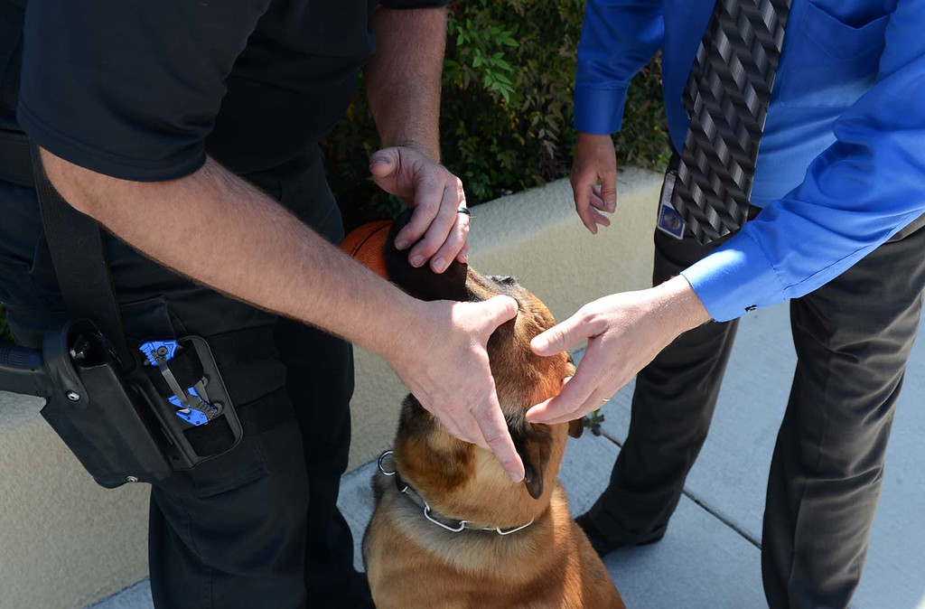 . Steve Bechtold, left, a Fontana police K9 officer examines the wound on Jaris\' head Tuesday April 3, 2013 along with Tom Yarrington, the Fontana Detective Sgt in charge of the department\'s K9 program. Jaris, a Fontana police dog who was thrown out of a second-story window by a wanted parolee, suffered no major injuries in the attack and police are hopeful the 6 1/2-year-old Belgian Malinois will return to work by next week. Rick Sforza/Staff photographer