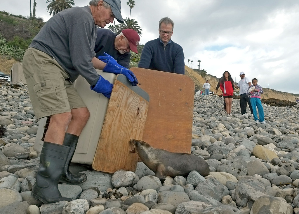 . Young sea lions were released back into the wild Sunday at Royal Palms State Beach in San Pedro. The pups had been taken in by the Marine Mammal Care Center in San Pedro, which has seen a large influx of sea lions this year. The center had to release the healthier animals to make room.  Harry Mansfield, left, and Christopher  Nagle, center, coax one of the sea lions to head for the ocean. 20130210 Photo by Steve McCrank / Staff Photographer