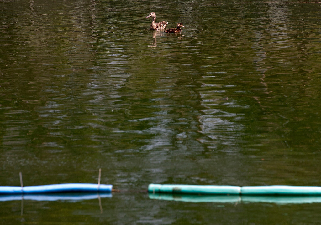 Description of . A duck and her duckling watch as AquaBio Environmental Technologies workers gather the wildlife in the lake at Red Hill Park in Rancho Cucamonga, CA, Friday, May 16, 2014. The city is draining the lake for cleaning and improvement of the infrastructure. (Photo by Jennifer Cappuccio Maher/Inland Valley Daily Bulletin)