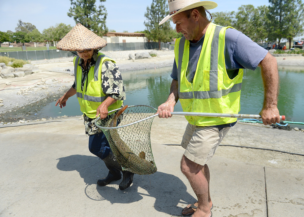 Description of . AquaBio Environmental Technologies' DeAna Vitela-Hayashi, left, and Nigel Gale remove a 20 pound Carp-Koi mix from the lake at Red Hill Park in Rancho Cucamonga, CA, Friday, May 16, 2014. The city is draining the lake for cleaning and improvement of the infrastructure. (Photo by Jennifer Cappuccio Maher/Inland Valley Daily Bulletin)