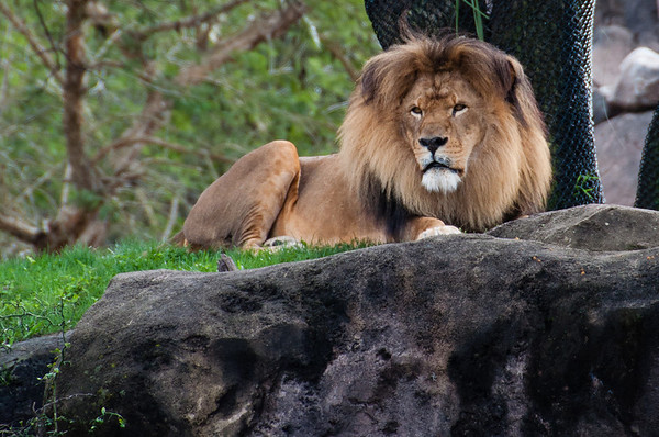 Disney's Animal Kingdom Lion