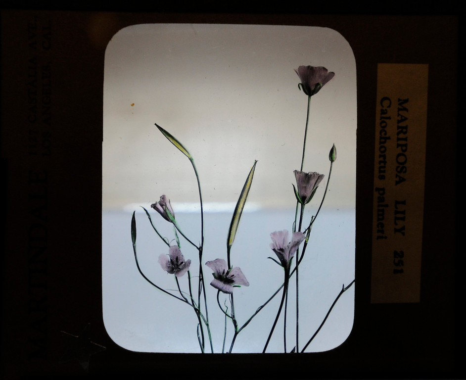 """. This hand-painted glass slide by Lustin Martindale shows a Mariposa Lilly.\""""When they were wild,\"""" is the Huntington Library\'s new Wildflower exhibition which kicks off a month of talks, workshops and wildflower sales. San Marino, CA 3/8/2013(John McCoy/Staff Photographer)"""
