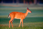 whitetail deer in early light