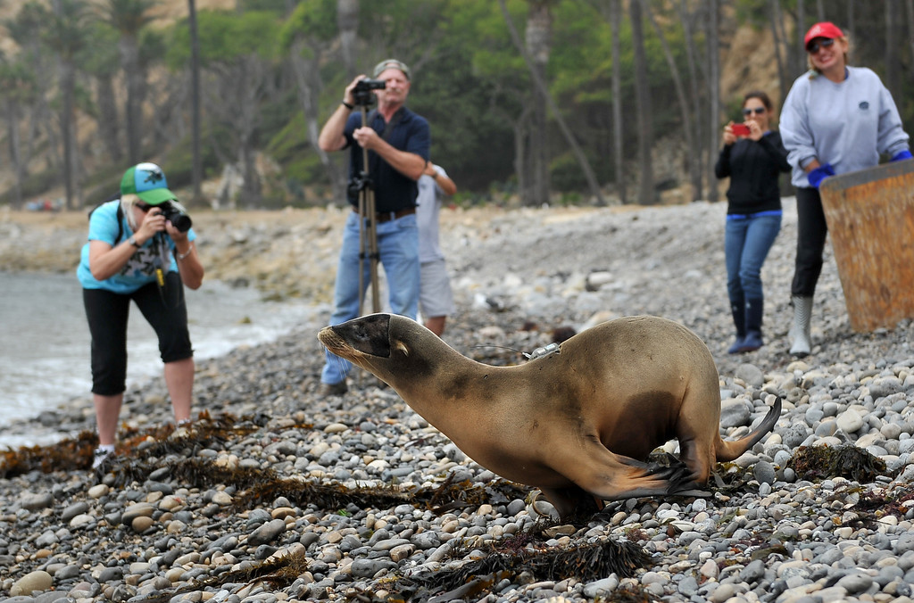""". 8/16/13 - Marine Mammal Care Center released a satellite tagged sea lion on Friday afternoon. This is unusual because the tags are expensive, costing between $3,000 and $5,000 apiece. The tags allow biologists to track animals. This tag was sponsored by Patricia Cornwell, a well known author who named the sea lion \""""Marino\"""" after a character in one of her books. Photo by Brittany Murray, Press Telegram"""