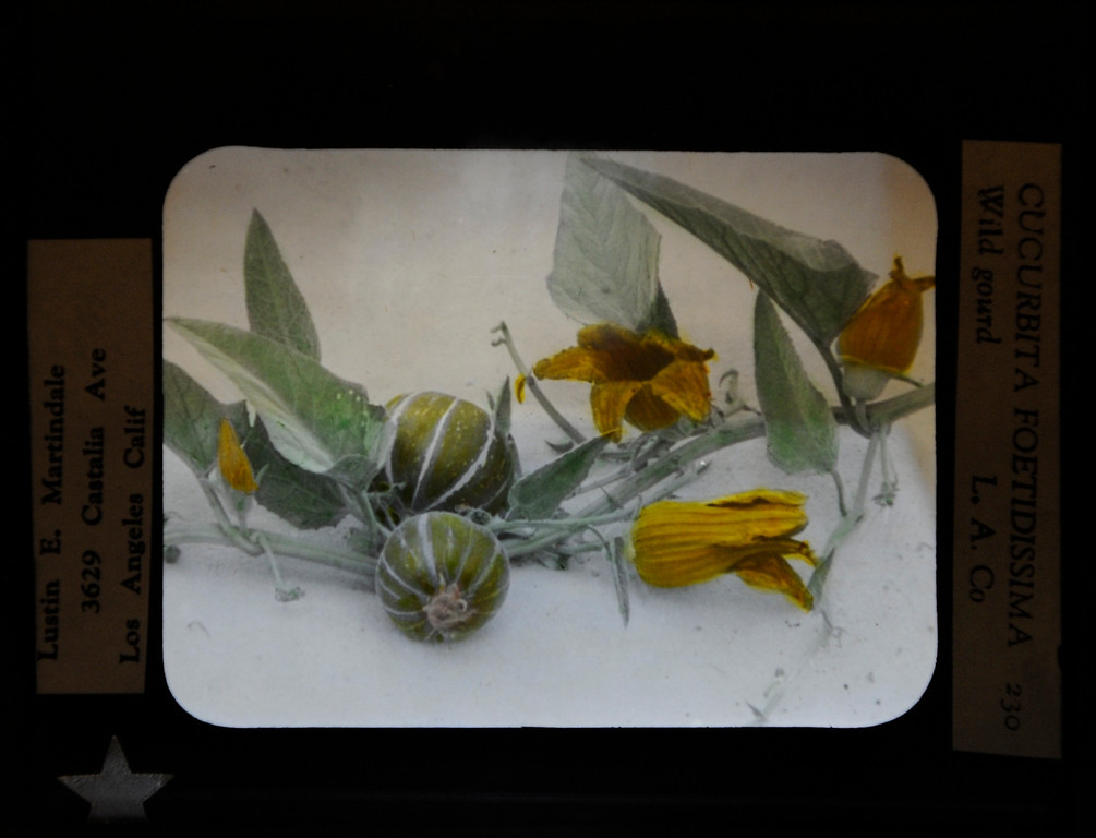 """. This hand-painted glass slide by Lustin Martindale shows a coyote melon.\""""When they were wild,\"""" is the Huntington Library\'s new Wildflower exhibition which kicks off a month of talks, workshops and wildflower sales. San Marino, CA 3/8/2013(John McCoy/Staff Photographer)"""