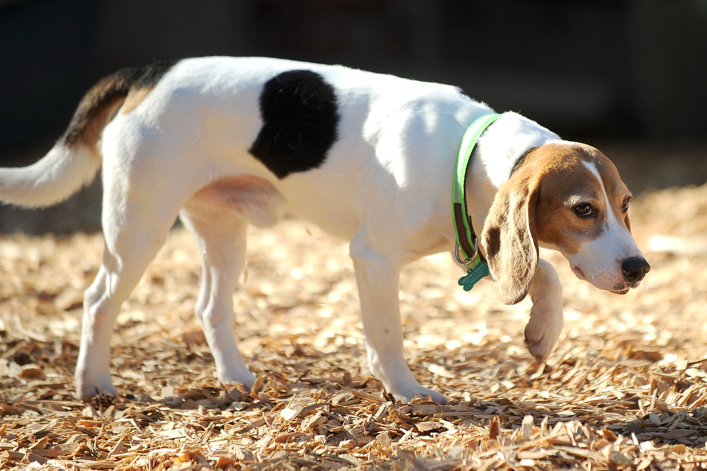 """. \""""Whitie\"""", one of ten beagles rescued from a research laboratory by Beagle Freedom Project, inspects his new home February 27, 2013.  The dogs traveled nearly 1500 miles to their new home in Valley Village, CA. (Andy Holzman/Los Angeles Daily News)"""