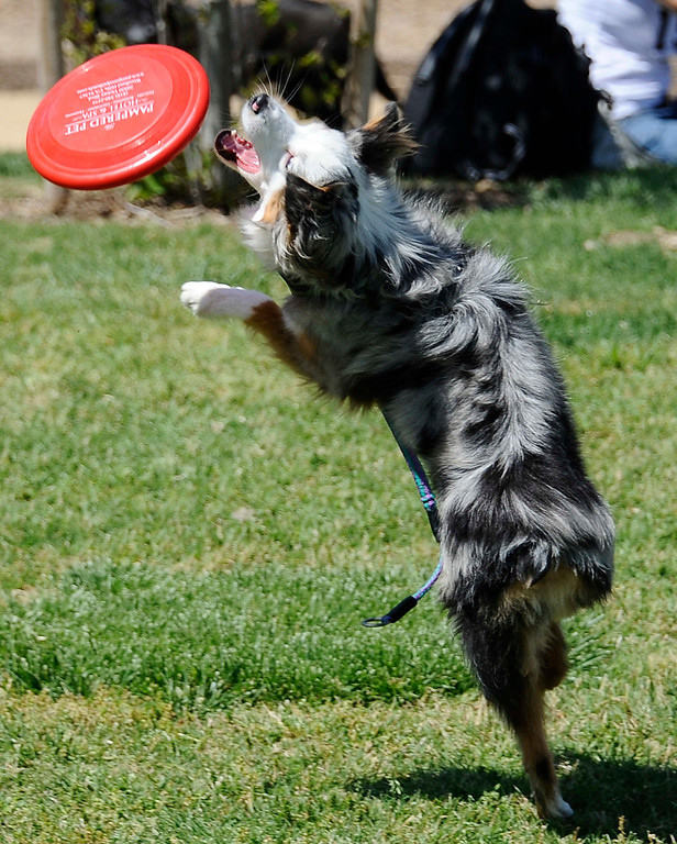 . April 21,2013. Calabasas. Ozzie enjoys some frisbee catching during the Canine Classic Dog Walk & Festival at Juan Bautista de Anza Park.  Photo by Gene Blevins/LA Daily News