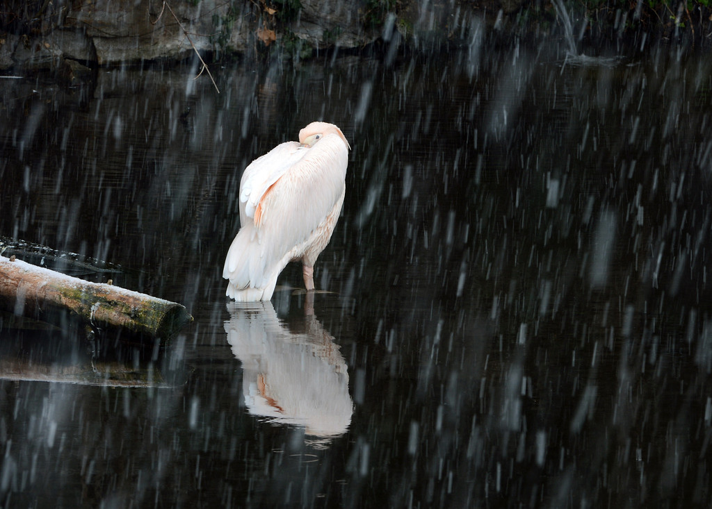 . A pink pelican stands in in a pond its enclosure during heavy snowfall at the zoo in Frankfurt, central Germany, Tuesday, Feb. 19, 2012. (AP Photo/dpa, Arne Dedert)