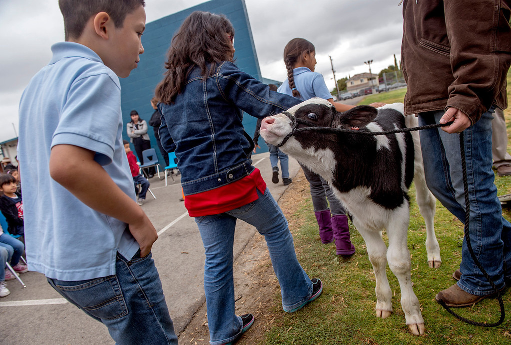Description of . Foster Elementary third-grader Jeshua (cq) Benitez, 9, left, approaches to pet three-day-old Holstein cow Crunch while learning all about cows and milk from the Dairy Counsel of California's Mobile Dairy Classroom instructor Laura LaFayette at the Baldwin Park campus April 15, 2013.   (SGVN/Staff photo by Leo Jarzomb)