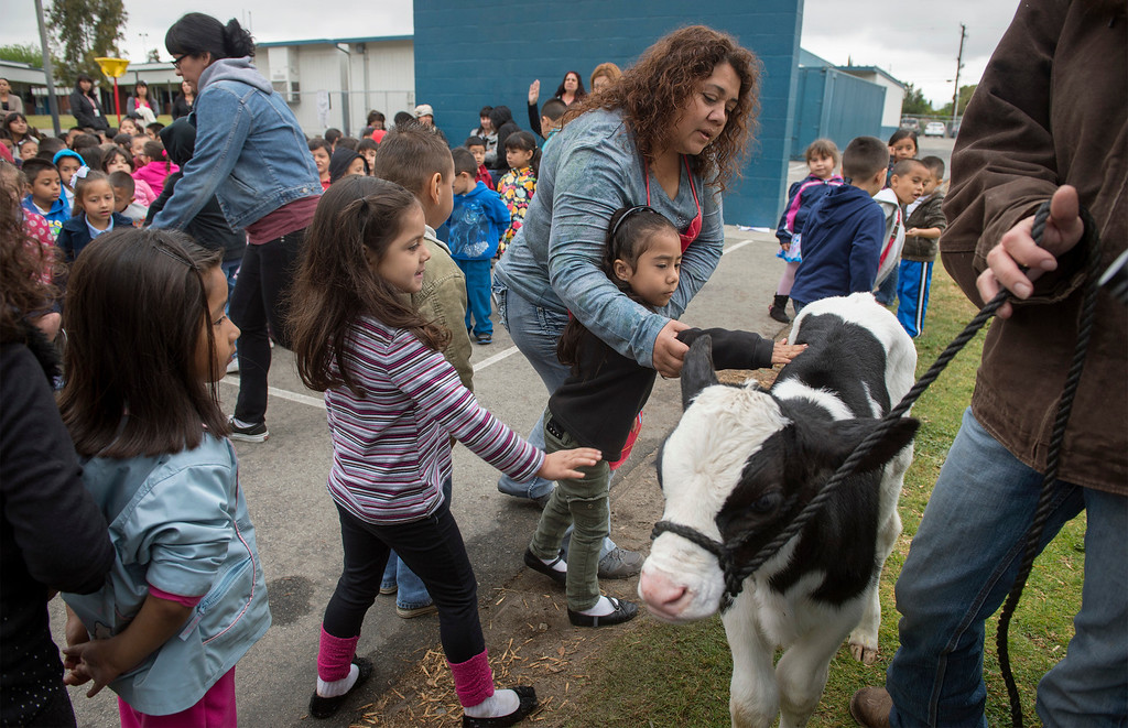 Description of . Foster Elementary students walk by to pet three-day-old Holstein cow Crunch while learning all about cows and milk from the Dairy Counsel of California's Mobile Dairy Classroom instructor Laura LaFayette at the Baldwin Park campus April 15, 2013.   (SGVN/Staff photo by Leo Jarzomb)