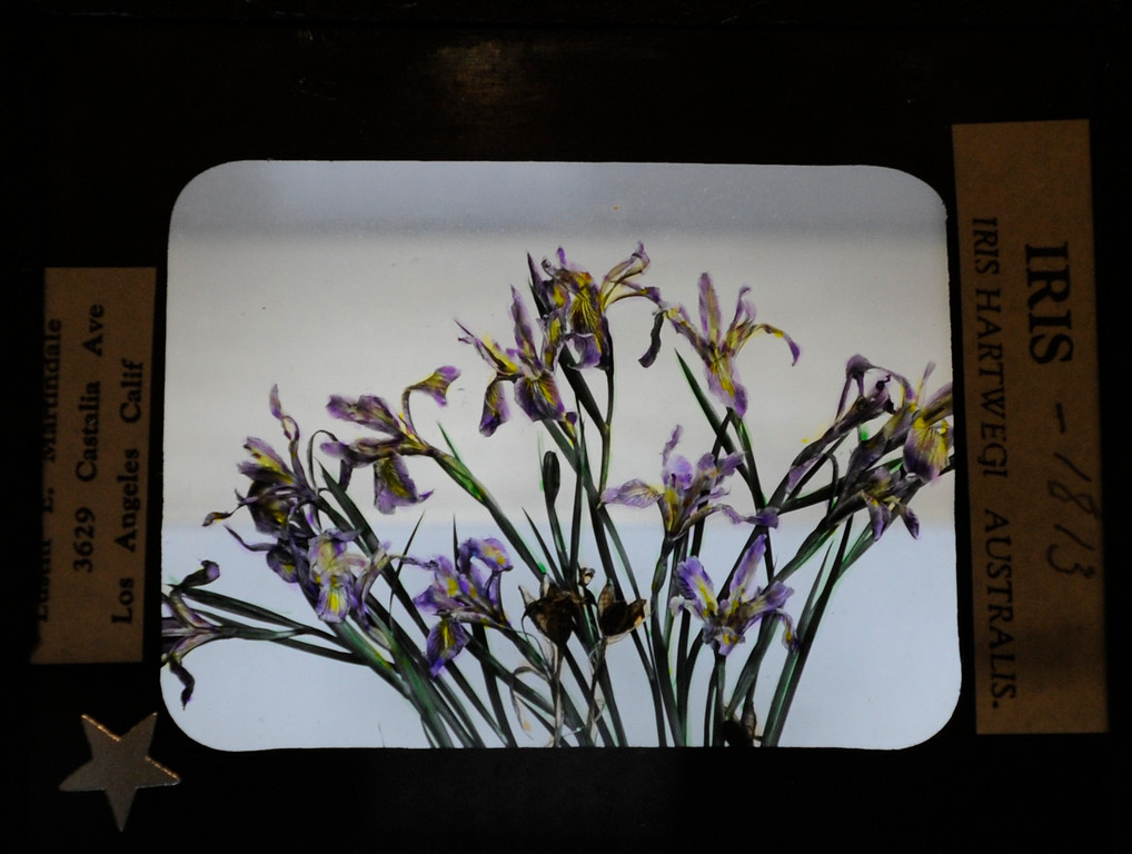 """. This hand-painted glass slide by Lustin Martindale shows a San Bernardino Mountain Iris.\""""When they were wild,\"""" is the Huntington Library\'s new Wildflower exhibition which kicks off a month of talks, workshops and wildflower sales. San Marino, CA 3/8/2013(John McCoy/Staff Photographer)"""