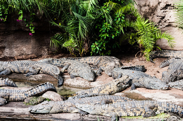Disney's Animal Kingdom - Crocodiles