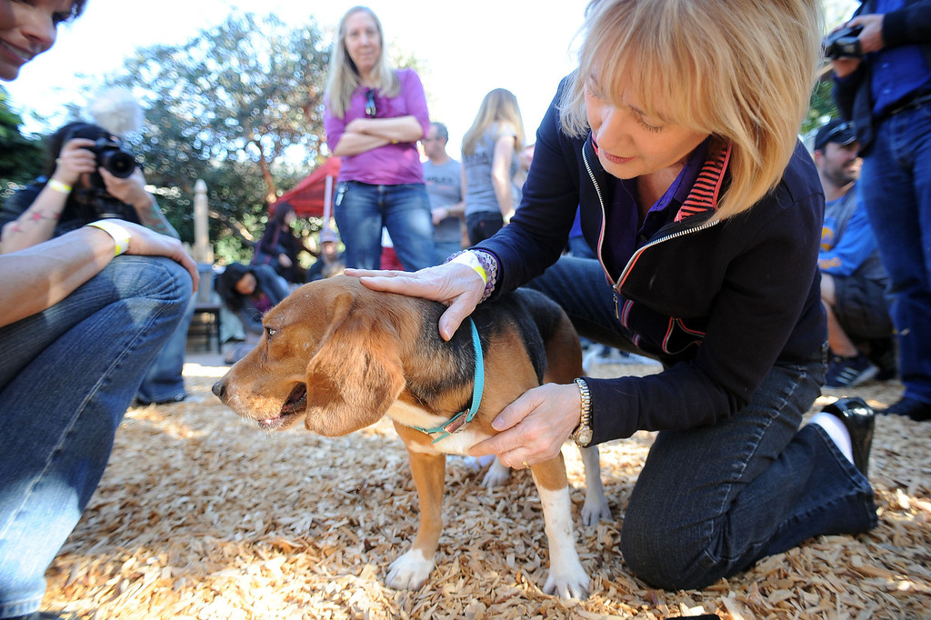 . A volunteer pets one of ten beagles rescued from a research laboratory by Beagle Freedom Project February 27, 2013.  The dogs traveled nearly 1500 miles to their new home in Valley Village, CA. (Andy Holzman/Los Angeles Daily News)