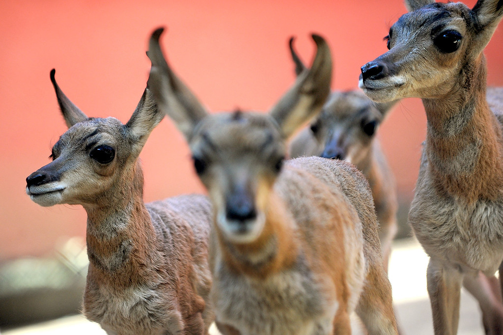 . Baby Penisular pronghorns looks on at the Los Angeles Zoo Thursday, April 18. 2013.  Five new pronghorn babies were born between April 3-9, 2013.  The animals, who are native to Baja Mexico, are a critically endagered species.(Andy Holzman/Daily News Staff Photographer)(Andy Holzman/Staff Photographer)