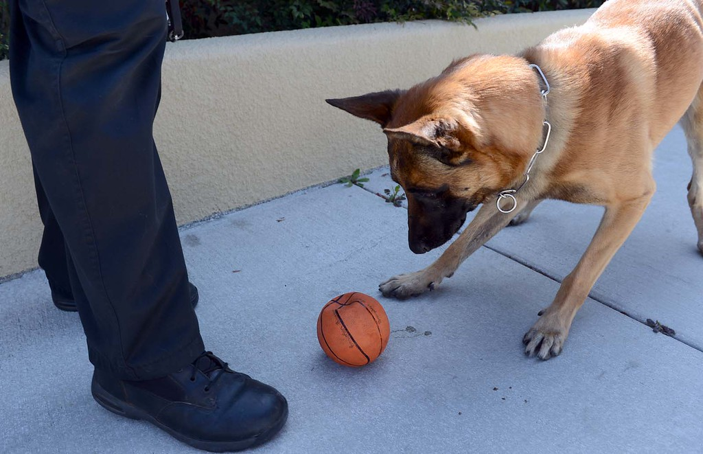 ". Jaris chases a ball dropped by his ""handler\"" Steve Bechtold, a Fontana police officer. Jaris, a Fontana police dog who was thrown out of a second-story window by a wanted parolee, suffered no major injuries in the attack and police are hopeful the 6 1/2-year-old Belgian Malinois will return to work by next week. Rick Sforza/Staff photographer"