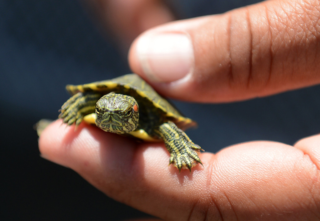 . In this May 2014 file photo, a one-month-old Red-eared Slider found in the lake at Red Hill Park is seen in Rancho Cucamonga, CA, Friday, May 16, 2014. (File Photo/Photo by Jennifer Cappuccio Maher/Inland Valley Daily Bulletin)