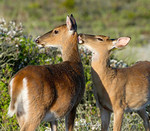 young, buck deer, licks it's mother, infested by ticks