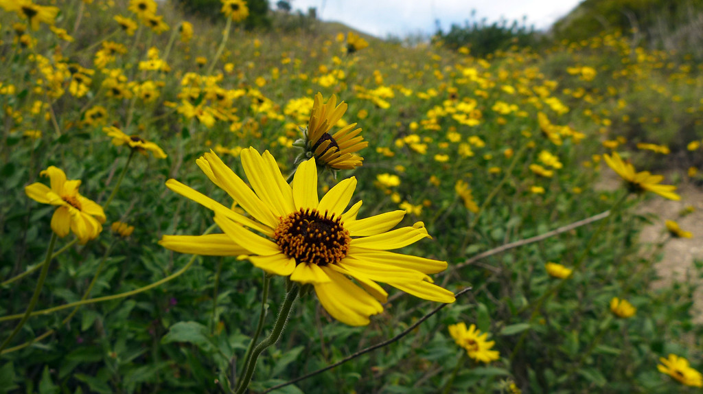. Wildflowers are in bloom along hiking trails within the Upper Filiorum Reserve in Rancho Palos Verdes.  California bush sunflowers are in bloom now, but quickly disappearing, and are growing dense in canyons such as Altamira. 20130320 Photo by Steve McCrank / Staff Photographer