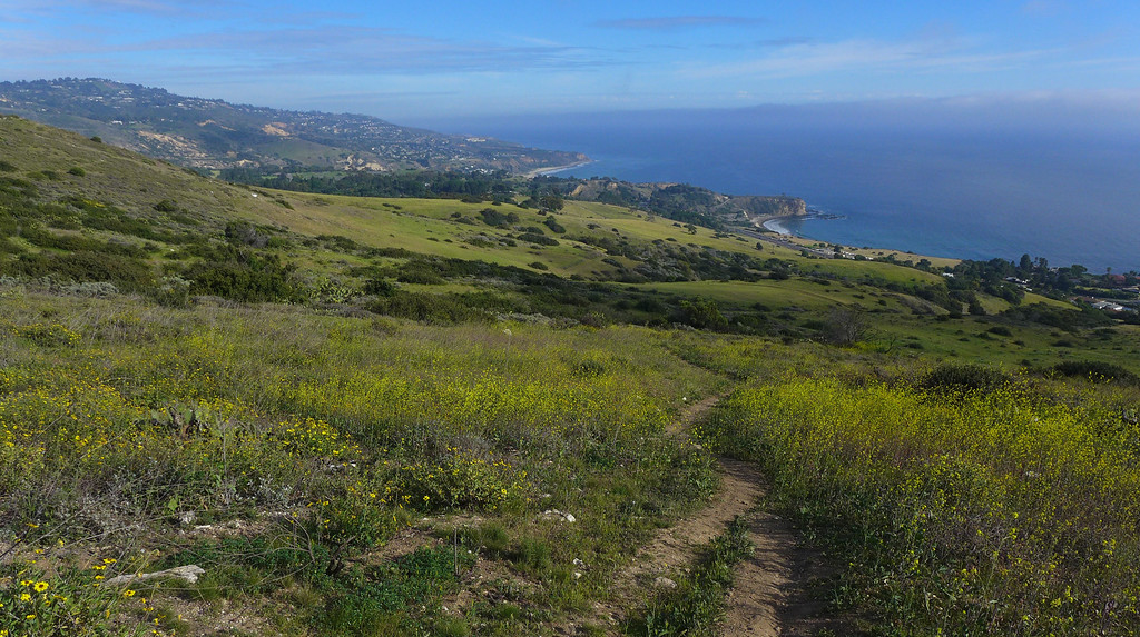 . Splashes of mustard flowers line the Barkentine Trail in the Three Sisters Reserve, Rancho Palos Verdes. 20130303 Photo by Steve McCrank / Staff Photographer