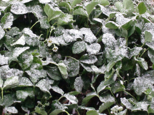 Snow Falling on Strawberries - 12th October, 2012
