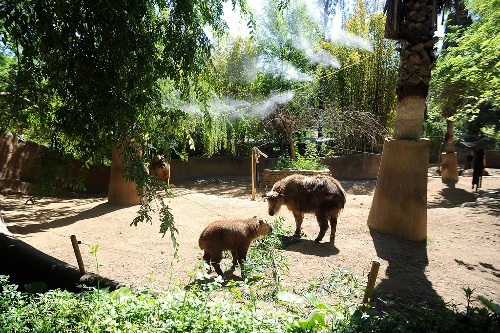 . A baby Sichuan takin at the Los Angeles Zoo Thursday, April 18. 2013.  The tikan is one of several babies the zoo has welcomed in 2013.(Andy Holzman/Daily News Staff Photographer)(Andy Holzman/Staff Photographer)