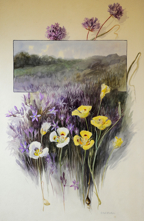 """. These Mariposa Lillys are a watercolor on paper painted by Ethel Wickes, 1872-1940. \""""When they were wild,\"""" is the Huntington Library\'s new Wildflower exhibition which kicks off a month of talks, workshops and wildflower sales. San Marino, CA 3/8/2013(John McCoy/Staff Photographer)"""