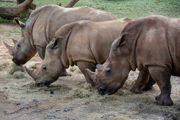Disney's Animal Kingdom - More Rhinos