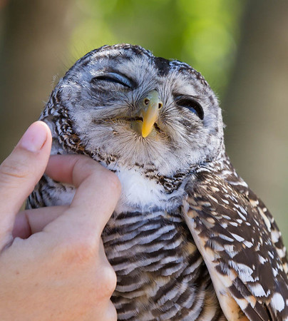 Friendly Barred Owl (Captive)