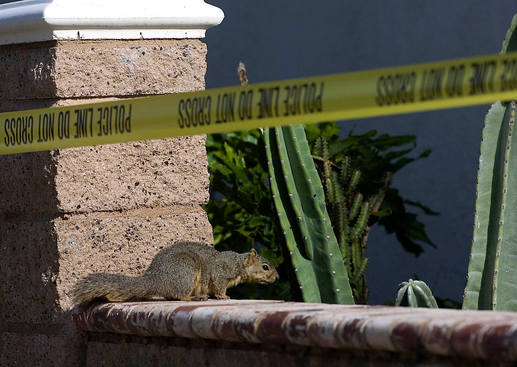 Description of . A squirrel sits on the garden wall as Pomona Police investigate the scene of a murder-suicide in the 2100 block of north Ramsey Way in Pomona, CA, Friday, May 9, 2014. (Jennifer Cappuccio Maher/Inland Valley Daily Bulletin)