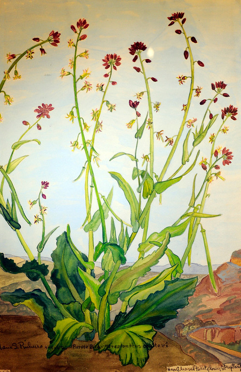 """. Jane Pinheiro painted what she called a \""""twist flower.\"""" \""""When they were wild,\"""" is the Huntington Library\'s new Wildflower exhibition which kicks off a month of talks, workshops and wildflower sales. San Marino, CA 3/8/2013(John McCoy/Staff Photographer)"""