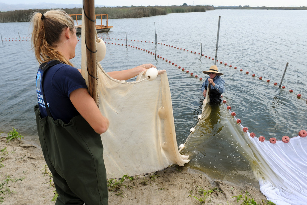 . Biologist Lindsay Griffin and fisheries biologist Carl Page, set up a net to look for the endangered fish tidewater goby in the Santa Clara River estuary which has flooded the campground at McGrath State Beach Park in Oxnard, Monday, July 22, 2013. Ventura County Public Works is pumping 32 inches of water from the estuary into the ocean. (Michael Owen Baker/L.A. Daily News)