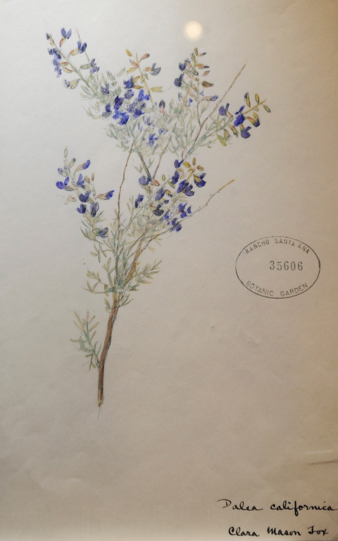 """. This Mojave Indio Bush was painted by Clara Mason Fox, 1873- 1959. \""""When they were wild,\"""" is the Huntington Library\'s new Wildflower exhibition which kicks off a month of talks, workshops and wildflower sales. San Marino, CA 3/8/2013(John McCoy/Staff Photographer)"""