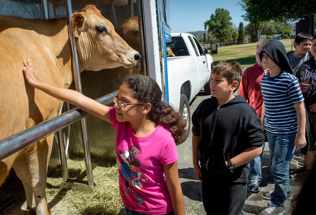 Description of . Ceres Elementary students walk by to pet Nestle the Jersey dairy cow while learning all about cows and milk from the Dairy Counsel of California's Mobile Dairy Classroom instructor Laura LaFayette at the South Whittier campus April 9, 2013.  (SGVN/Staff photo by Leo Jarzomb)