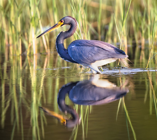 Tricolored Heron Reflection