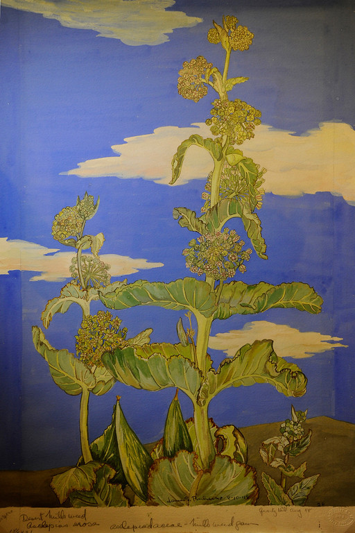 """. Desert Milkweed watercolor on paper. \""""When they were wild,\"""" is the Huntington Library\'s new Wildflower exhibition which kicks off a month of talks, workshops and wildflower sales. San Marino, CA 3/8/2013(John McCoy/Staff Photographer)"""