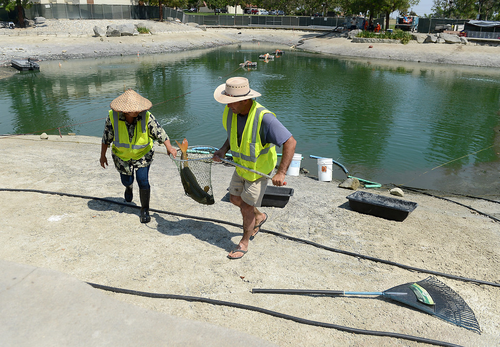 Description of . AquaBio Environmental Technologies specialists gather the wildlife in the lake at Red Hill Park in Rancho Cucamonga, CA, Friday, May 16, 2014. The city is draining the lake for cleaning and improvement of the infrastructure. (Photo by Jennifer Cappuccio Maher/Inland Valley Daily Bulletin)