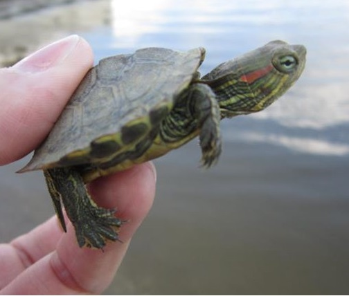 Wabashiki turtle research holds promise